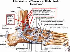 Foot Anatomy Chart Image Lateral Ankle For Term Side Of Card Ligaments And