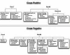 Classification Of Bacteria Chart Classification Of Bacteria On Basis Of Gram Stain Cell