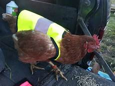 chicken clothes yellow high vis chicken jacket chicken clothing