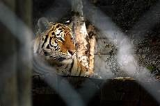 tigre in gabbia tigre in gabbia juzaphoto