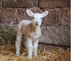Newborn Lamb Improving Newborn Lamb Survival Downlanddownland