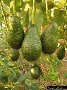 Different Types Of Avocado Avocado Tree Persea Americana Hass Sheppard Fuete Reed