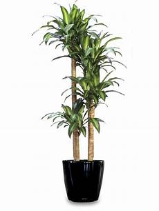 Dracaena Low Light Dracaena Fragrans Massangea Cane Low Light Plants For