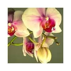 orchidee fiori appassiti i fiori di orchidea phalaenopsis orchidee
