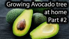 Different Types Of Avocado Avocado Tree Grown From Seed Different Types Of