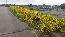 Cats Claws Plant Yellow Spring 1 Cat S Claw Vine Dolichandra Unguis Cati