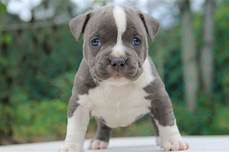 Designer Pitbulls Cost Pitbull Dog Price Amp Cost Range Where To Buy American Pit