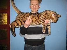 Bengal Cat Size Chart Housecat Vs Fox Animal Vs Animal Forums