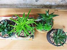 Low Light Succulents Succulent Care Guide High Vs Low Light Succulents Retro Den