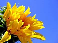 flower wallpaper for desktop free sunflower desktop wallpapers free wallpaper cave
