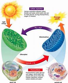 Cell Processes Photosynthesis Cellular Respiration Amp Fermentation