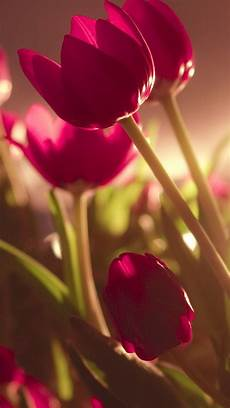 iphone wallpaper pictures flowers beautiful tulips iphone 5s wallpaper fondos de flores