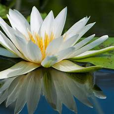Flor De Lotus What Is The Symbolic Meaning Of A Lotus Flower 6 Steps