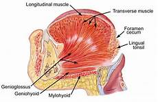 Tongue Anatomy 101 Proofs For God 86 The Tongue