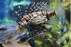 la volante rascasse volante aquarium tropical du palais de la porte
