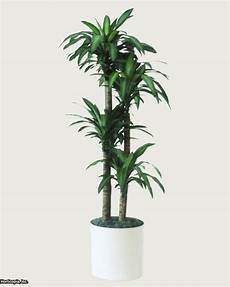 Dracaena Low Light Q Amp A Northern Light For Indoor Trees Hgtv