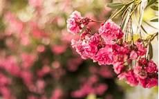 flower wallpaper in hd wallpaper pink flowers flora macro hd 5k flowers 2560