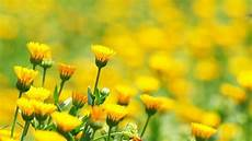 Yellow Flower Wallpaper by Field Of Flowers Wallpapers Wallpaper Cave