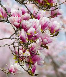 magnolia flowers wallpaper for iphone magnolia wallpapers high quality free