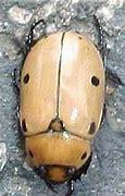 "Image result for ""grapevine-beetle"""