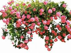 image result for climbing roses transparent background
