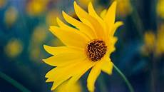 Yellow Flower Wallpaper by Yellow Flower Wallpaper Iphone Android Desktop