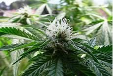 Download Weed Pictures Beautifulmarijuana Windows Backgrounds Laptop Download