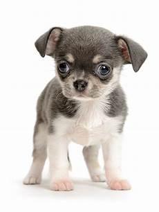 lille hund undg 229 bondefangeri n 229 r du k 248 ber hund interweb