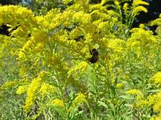 Ragweed Picture Blame Ragweed Not Goldenrod For Fall Hay Fever Gardening