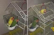 inserzioni la gabbia mondonico due pappagallini fuggiti dalla gabbia l