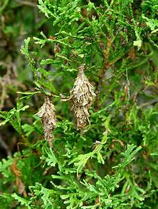 How To Treat Bagworms Bagworms Are Killing An Arborvitae What To Do