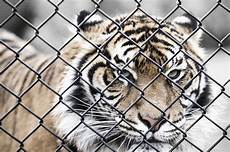 tigre in gabbia image libre animal gros chat tigre sauvage cage