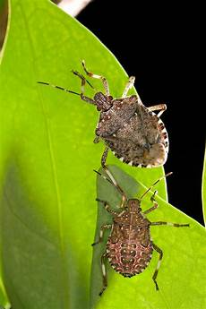 Brown Marmorated Stink Bug Watch For This Stinker This Summer Brown Marmorated