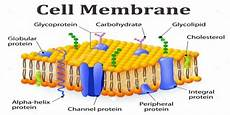 Membrane Structure And Function Function And Structure Of Cell Membrane Assignment Point