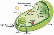 Does The Calvin Cycle Require Light Light Independent Reactions Photosynthesis