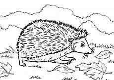 hedgehog on the meadow coloring pages coloring sun