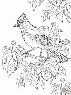 realistic steller s jay coloring page free printable