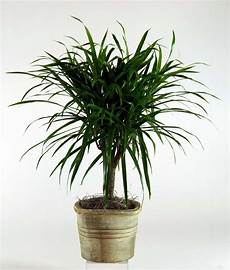 Dracaena Low Light Best Houseplants That Are Hard To Kill And Maintenance Tips