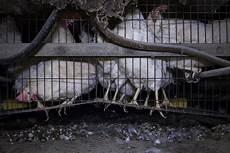 gabbia galline lombardia le terribili condizioni delle galline nelle