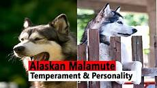 Alaskan Malamute Height And Weight Chart Alaskan Malamute Facts Alaskan Malamute Training