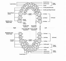 tooth numbering american tooth numbering system dental education