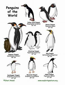 Types Of Penguins Chart Penguins Of The World