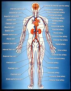 Circulatory System Organs The Systems Of The Human Body And Their Function Dr