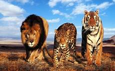 the three cats animals background wallpapers on