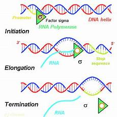 Transcription Biology 2 7 Dna Replication Transcription And Translation Sl Hl