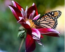 Mariposas Y Flores Canalred Gt Fondos De Pantalla Gt Flores