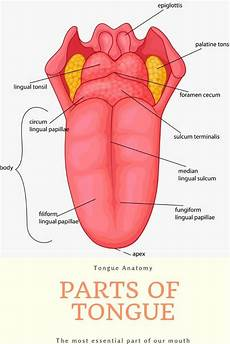 Tongue Anatomy Tongue Its Anatomy Structure And Functions Stemjar