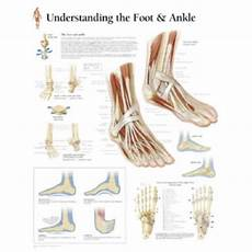 Foot Anatomy Chart Peter Bachin Anatomical Chart Foot And Ankle