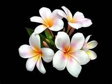 flower wallpaper for desktop free plumeria flowers black background desktop background