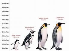 Types Of Penguins Chart Penguin Theme For Preschool Penguins Artic Animals